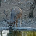 Uukwa's kudu bull