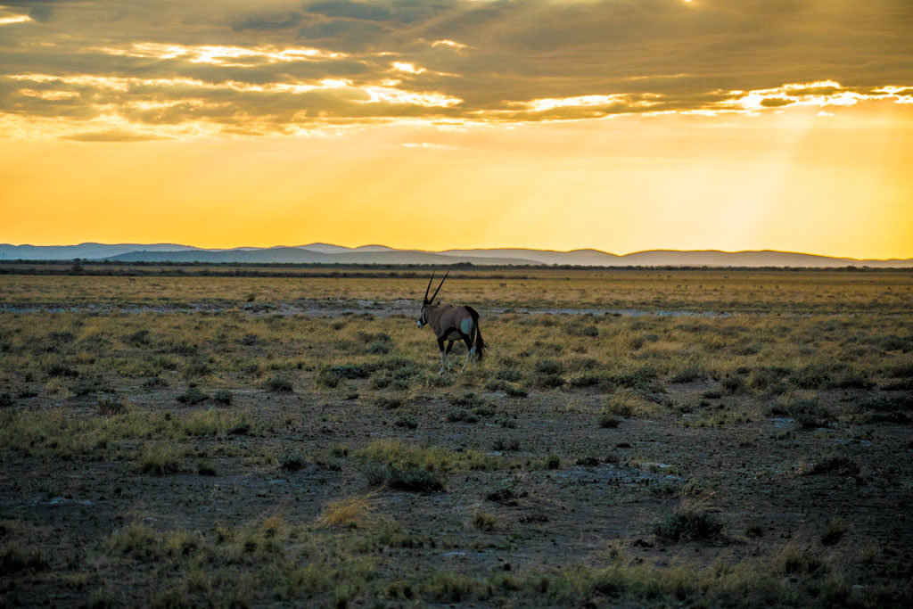 An Oryx at sunset, Uukwaluudhi