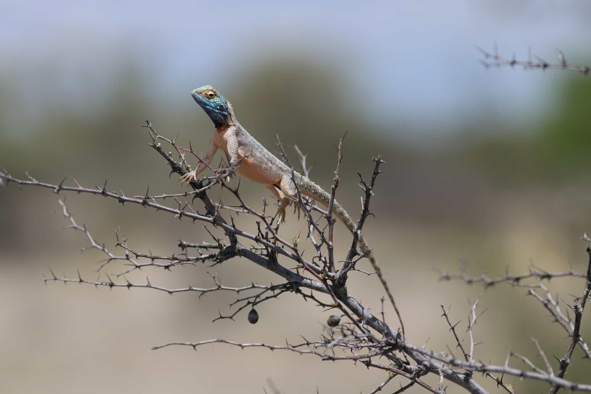 Lizard, Uukwaluudhi