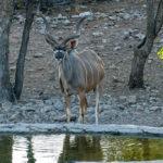 Uukwa Kudu Bull