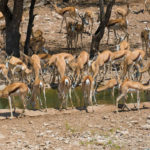Uukwa Springbok