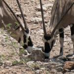 Uukwa Oryx