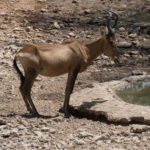 Uukwa Red Hartebeest