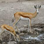 Uukwa's Springbok