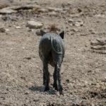 Uukwa Warthog