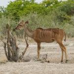 Uukwa Kudu