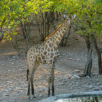 Uukwa's Giraffe at Waterhole