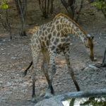 Uukwa Giraffe