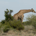 Uukwa Giraffes