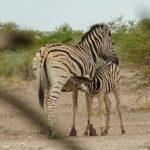 Uukwa Zebras