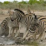 Uukwa's zebras